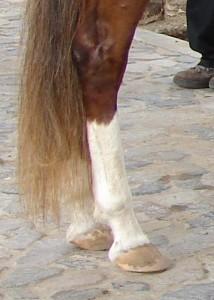 healthy equine leg